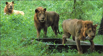 Aged lions roam feely about the moat at the zoo in Mirpur. PHOTO: Syed Zakir Hossain
