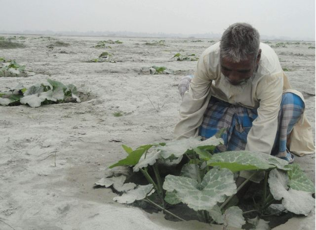 A farmer at work at his pumpkin field at Shoalmari village in Kaliganj upazila under Lalmonirhat district. Many landless people in the sandy char areas of Teesta basin in the district are now engaged in the profitable cultivation. PHOTO: STAR