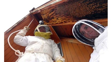 In this early April 2013 photo provided by Ogden beekeeper Vic Bachman, left, and partner Nate Hall prepare to remove a 12-foot-long beehive from an A-frame cabin in Eden, Utah. Photo: AP