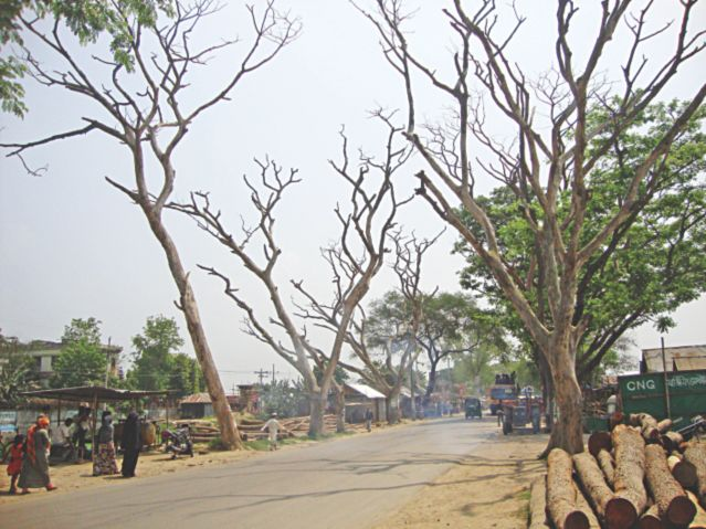 A large number of trees beside two highways in Brahmanbaria Sadar upazila remain vulnerable to death and looting, thanks to the negligence of the authorities concerned. The photo was taken from Sylhet-Comilla highway at Sultanpur in Brahmanbaria Sadar upazila a few days ago. PHOTO: STAR
