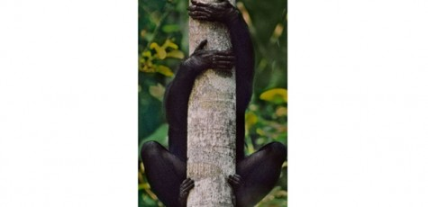 Caption: Bonobos have bendy feet to help them grip branches. This photo is taken from BBC website.