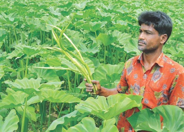 A farmer holds arum shoots, locally called kachur lati, at his field at Karnopur village in Lalmonirhat Sadar upazila that sees increasing cultivation of the nutritious vegetable due to its high demand and low farming cost.    PHOTO: STAR