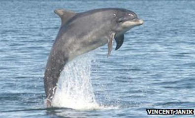 Researchers have long suspected dolphins use distinctive whistles to identify themselves. This photo is taken from BBC.