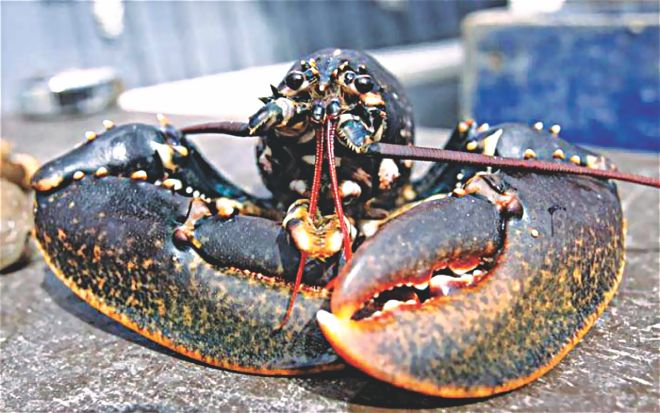 Lobsters hold the key to eternal life!
